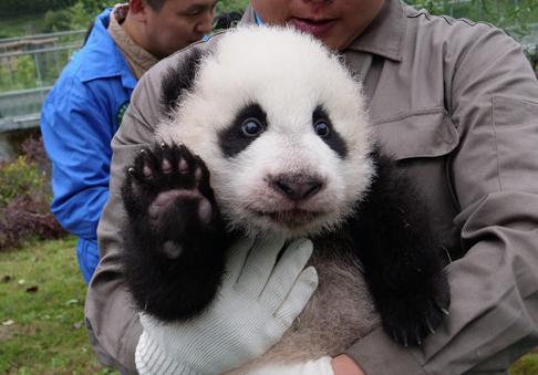 新生熊猫宝宝什么样