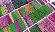 金秋十月 许昌彩菊种植基地如画般色彩斑斓