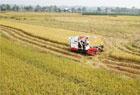 泰和超级稻喜获丰收