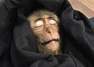 小猴子偷喝咖啡休克