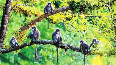 云南德宏 发现罕见极大种群菲氏叶猴