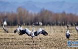 西藏日喀则年楚河流域 黑颈鹤高原越冬