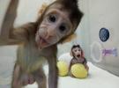 """世界首个体细胞克隆猴诞生 新华社:这把""""猴毛""""撒得出还要收得回"""