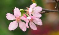 国内最美的赏樱点推荐