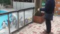 日本海洋馆上演神奇一幕:企鹅跟着溜溜球摇摆