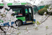 杭城最美樱花公交站 置身粉色花海中
