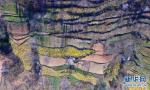 连翘种植助农增收