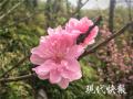 山花烂漫 春天的南京栖霞山满眼都是惊艳