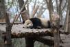 """成都多只大熊猫遭遇""""黑眼圈变白"""",咋回事?"""