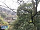 山东四措并举 进一步做好全省古树名木保护工作