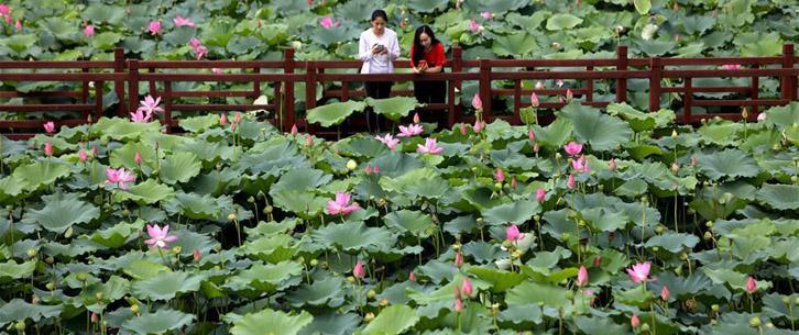 河北香河:荷花盛开助力乡村旅游