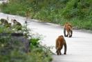 江苏句容境内发现野化100余只猕猴种群
