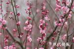 @所有人,南京的梅花开了,你还在等什么?