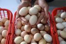 北京育出蛋鸡新品种