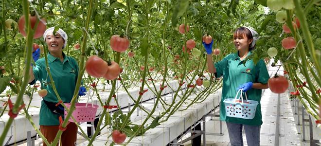 山东寒亭:田园综合体里的番茄熟了