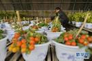 平度明村樱桃西红柿陆续成熟 采摘游启动