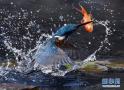 抓拍翠鸟捕小鱼瞬间