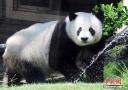 """明星大熊猫""""巴斯""""辞世"""
