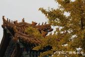 清西陵景区银杏美