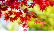 枫叶走红 栖霞山上演秋色大片