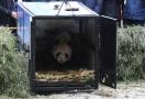 大熊猫放归大自然