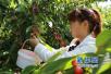 大力发展樱桃产业 新安县礼河村展现村美民富新风貌