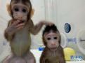 中国克隆猴家庭将迎第三名成员