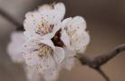 天荡山杏花盛开