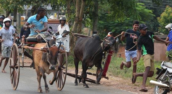 斯里兰卡举行奔牛节