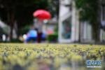 """青岛普降小到中雨 虽已过小满气象学上依然是""""春天"""""""