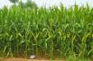 山东发布2018年玉米病虫草害防治意见 突出病虫害绿色防控