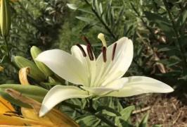 郑州植物园百合花盛开了 花期短暂免费入园