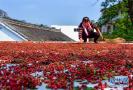 河北:花椒产业铺就致富路带动当地农民增收