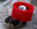 中国圈养大熊猫已达518只 58只在外参与国际研究
