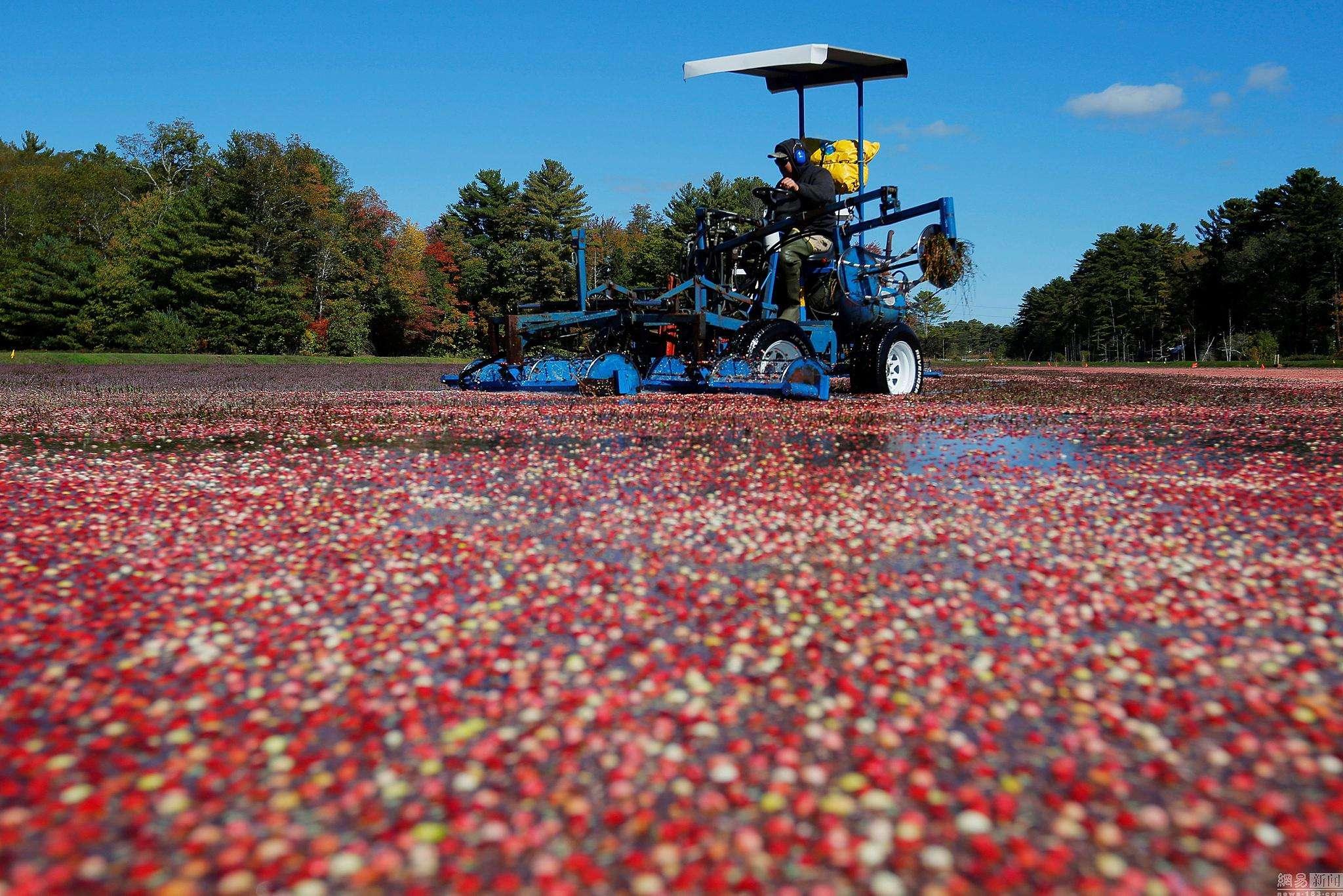 中国最大蔓越莓种植基地首次丰收