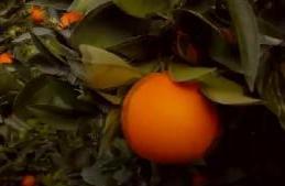 洋年货·严挑细选 西西里血橙期待走进中国市场