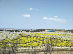 莫负春光!荥阳古柏渡黄河樱花节赏花时间发布了