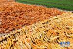 沧州渤海新区坚持科技兴农 援种甘薯助农民致富