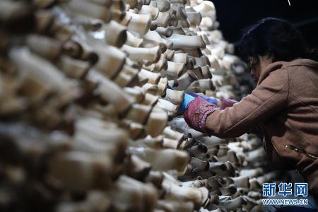 河北平泉:小蘑菇铺就致富路