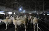 河南淮滨:养殖湖羊奔小康