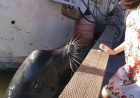 惊险!小女孩逗海狮玩被猛然咬住拖入水中