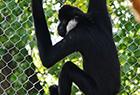 """长臂猿""""飞檐走壁"""""""