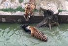 活驴被扔进老虎池