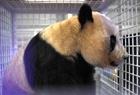 旅日大熊猫返回成都