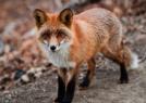紅狐呆萌模樣超討喜