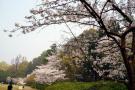 杭州最全赏樱攻略请收好