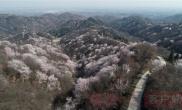 河南光山:樱花盛开