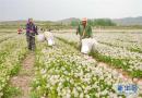 河北卢龙:中药材种植开辟致富新路