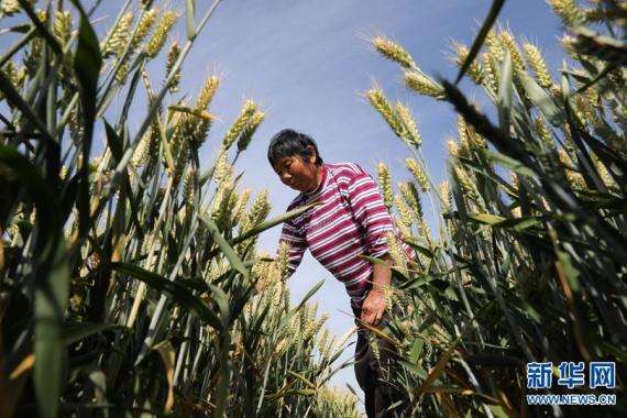 河南温县:小满时节麦粒满 麦浪翻滚迎丰年