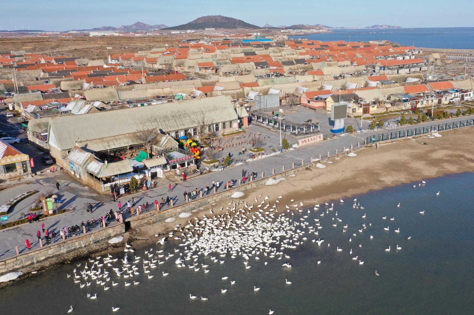 """这是1月9日在荣成大天鹅国家级自然保护区拍摄的大天鹅(无人机照片)。每年10月至次年3月,成千上万只大天鹅陆续从西伯利亚等地翩然飞临""""中国大天鹅之乡""""山东省荣成市栖息越冬。荣成市地处山东半岛最东端,三面环海,独特的地理位置为大天鹅过冬提供了优越的自然条件。为保护大天鹅的栖息环境,荣成市于1985年建立大天鹅自然保护区,2007年4月经国务院批准为国家级自然保护区,保护区内建有救护中心、疫源疫病监测中心和天鹅湖、烟墩角2个保护管理站。2012年以来,荣成市为改善区域湿地生态质量,组织实施了生态清淤治理、残坝拆除、沙堤侵蚀整治和大叶藻修复等工程。如今黄海之滨的荣成已成为大天鹅在我国重要的越冬栖息地,形成了人与自然和谐共生的城市生态。新华社记者 侯东涛 摄"""